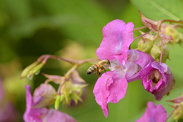 Honey bee (Apis mellifera) collecting pollen from Himalayan balsam (Impatiens glandulifera). River Tame floodplain, Reddish Vale, Greater Manchester, England, UK. August.