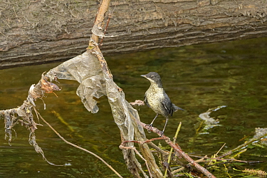 Dipper (Cinclus cinclus) chick perched on branch covered with plastic litter deposited by floodwaters. Research conducted by Manchester University has found rivers flowing through Greater Manchester t...