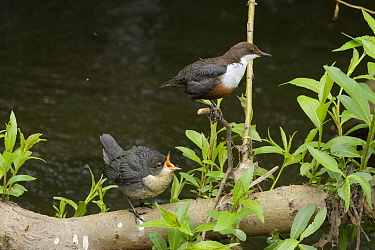 Dipper (Cinclus cinclus) chick calling to adult perched above. River Mersey, Greater Manchester, England, UK. May.