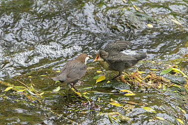 Dipper (Cinclus cinclus) feeding chick. River Mersey, Greater Manchester, England, UK. May 2019.