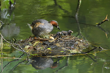 Little grebe (Tachybaptus ruficollis) and chicks on nest, one unhatched egg remaining in nest. Reddish Vale Country Park, Greater Manchester, England, UK. August.