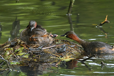 Little grebe (Tachybaptus ruficollis) family, adult feeding Stickleback to chicks on nest. Reddish Vale Country Park, Greater Manchester, England, UK. August.