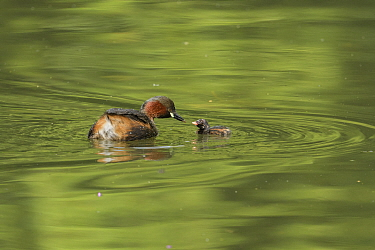 Little grebe (Tachybaptus ruficollis) feeding chick on water. Reddish Vale Country Park, Greater Manchester, England, UK. August.