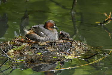 Little grebe (Tachybaptus ruficollis) with chick on nest. Reddish Vale Country Park, Greater Manchester, England, UK. August.