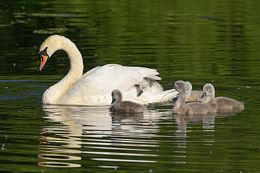 Mute swan (Cygnus olor) with cygnets on water, one on parent's back. Reddish Vale Country Park, Greater Manchester, England, UK. May.