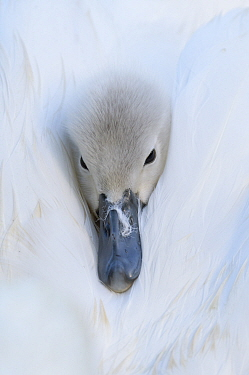 Mute swan (Cygnus olor) cygnet on parent's back, peeking out through feathers, portrait. Reddish Vale Country Park, Greater Manchester, England, UK. May.
