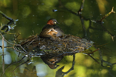 Little grebe (Tachybaptus ruficollis) brooding chicks on nest, chick peeking out from under wing. Reddish Vale Country Park, Greater Manchester, England, UK. August.