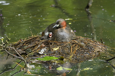 Little grebe (Tachybaptus ruficollis) with begging chick on nest. Reddish Vale Country Park, Greater Manchester, England, UK. August.