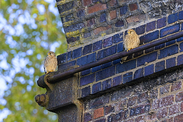 Common kestrel (Falco tinnunculus) pair perched under old railway viaduct, nest site nearby. Reddish Vale, Greater Manchester, England, UK. April.