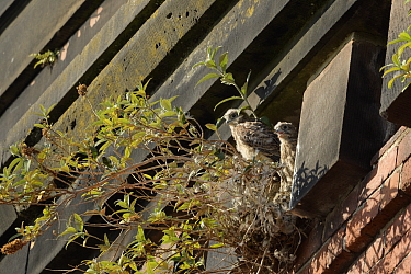 Common kestrel (Falco tinnunculus), two chicks on nest amongst Buddleia on old railway viaduct. Stockport, Greater Manchester, England, UK. June.
