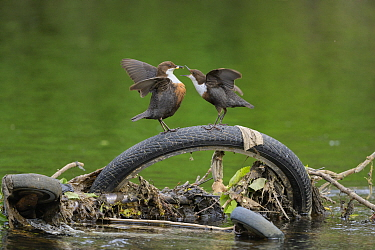 Dipper (Cinclus cinclus) pair food passing, perched on bicycle tyre dumped in river. Research from Manchester University has found rivers flowing through Greater Manchester to have the highest levels...