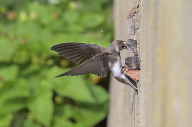 Sand martin (Riparia riparia) feeding chicks, nesting in old drainage pipe along River Mersey retaining wall. Greater Manchester, England, UK. June.