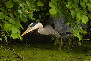 Grey heron (Ardea cinerea) with Common newt (Lissotriton vulgraris) prey in beak. Reddish Vale Country Park, Greater Manchester, England, UK. May.