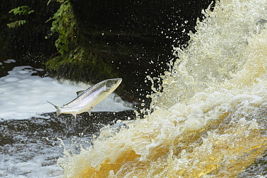 Atlantic salmon (Salmo salar) leaping up waterfall to reach spawning grounds upstream. River Endrick, Loch Lomond and The Trossachs National Park, Scotland, UK. July.