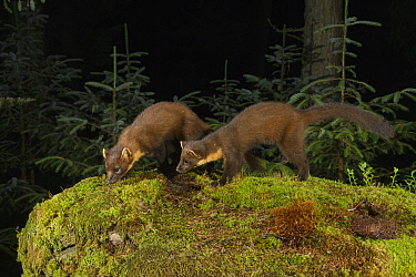 Pine marten (Martes martes) female and kit sniffing amongst moss, in coniferous forest at night. Loch Lomond and The Trossachs National Park, Scotland, UK. July. Camera trap image.