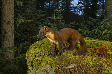 Pine marten (Martes martes) standing amongst moss in coniferous forest, at dusk. Loch Lomond and The Trossachs National Park, Scotland, UK. August. Camera trap image.