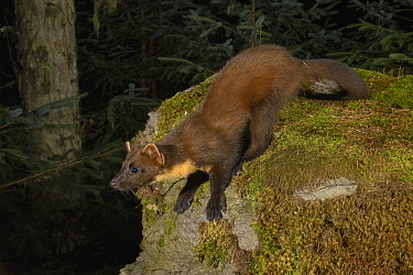 Pine marten (Martes martes) in coniferous forest at night. Loch Lomond and The Trossachs National Park, Scotland, UK. September. Camera trap image.