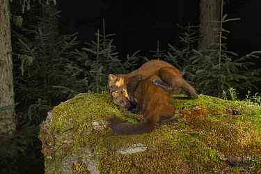 Pine marten (Martes martes) female and kit play fighting amongst moss in coniferous forest at night. Loch Lomond and The Trossachs National Park, Scotland, UK. September. Camera trap image.
