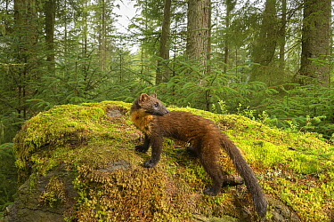 Pine marten (Martes martes) amongst moss in coniferous forest. Loch Lomond and The Trossachs National Park, Scotland, UK. August. Camera trap image.