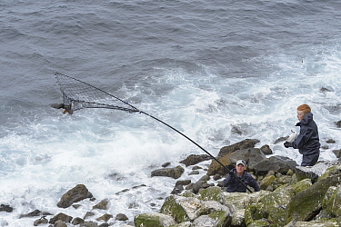 Father and son, Sigurour Henningson and Gabriel catching Puffin (Fratercula arctica) with traditional long-handled net, on coast. Grimsey Island, Iceland. July 2019.