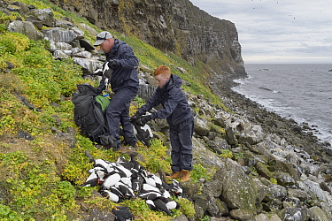 Father and son, Sigurour Henningson and Gabriel filling Puffin (Fratercula arctica) and Razorbill (Alca torda) carcasses into rucksack to carry up cliff. Grimsey Island, Iceland. July 2019.