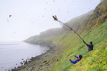 Father and son, Magnus Bjarnason and Bjarni Magnusson on coast catching Puffin (Fratercula arctica) with long-handled net. Grimsey Island, Iceland. July 2019.