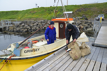 Father and son, Magnus Bjarnason and Bjarni Magnusson loading sacks of Puffin (Fratercula arctica) carcasses into boat, caught on cliff using traditional long-handled nets. Grimsey Island, Iceland. Ju...