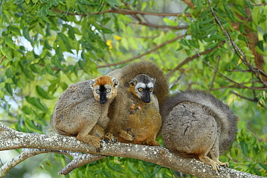 Red-fronted brown lemur (Eulemur rufifrons), three on branch with small baby, in spiny forest. Berenty Private Reserve, Madagascar.