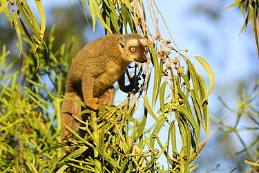 Red-fronted brown lemur (Eulemur rufifrons) feeding in Eucalyptus tree, Berenty Private Reserve, Madagascar.