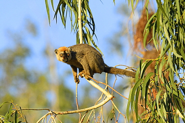 Red-fronted brown lemur (Eulemur rufifrons) in Eucalyptus tree. Berenty Private Reserve, Madagascar.