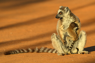 Ring-tailed lemur (Lemur catta) suckling baby. Berenty Reserve, Madagascar.