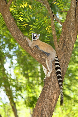 Ring-tailed lemur (Lemur catta) lounging in tree, in spiny forest. Berenty Reserve, Madagascar.