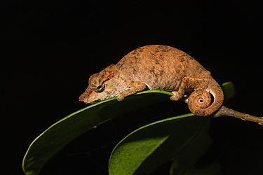 Short-nosed deceptive chameleon (Calumma fallax) on leaf at night. Andasibe-Mantadia National Park, Madagascar.