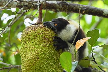 Black-and-white ruffed lemur (Varecia variegata) feeding on Jackfruit (Artocarpus heterophyllus). Palmarium Reserve, Madagascar.