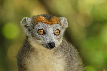 Crowned lemur (Eulemur coronatus) female, portrait. Palmarium Reserve, Madagascar.
