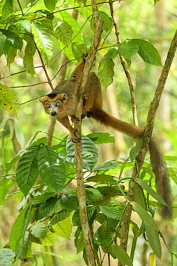 Crowned lemur (Eulemur coronatus) male climbing in tree, looking at camera. Palmarium Reserve, Madagascar.