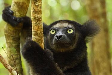 Indri (Indri indri), portrait. Palmarium Reserve, Madagascar.