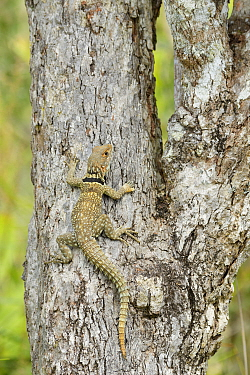 Cuvier's swift iguana (Oplurus cuvieri) on tree trunk. Lake Ampitabe, Palmarium Reserve, Madagascar.