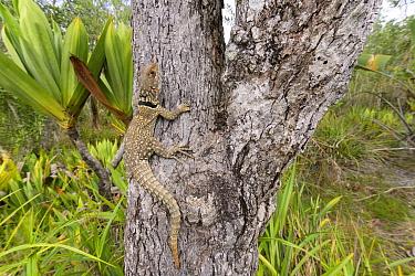 Cuvier's swift iguana (Oplurus cuvieri) on tree trunk. Palmarium Reserve, Lake Ampitabe, Madagascar.