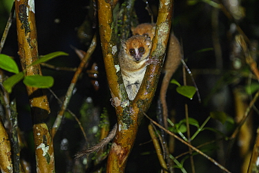 Brown mouse lemur (Microcebus rufus) in tree fork at night. Ranomafana National Park, Madagascar.
