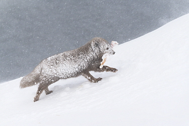 Arctic fox (Vulpes lagopus), blue colour morph in winter coat walking through snow with food in mouth, snow stuck on fur. Hornstrandir Nature Reserve, Iceland. February.