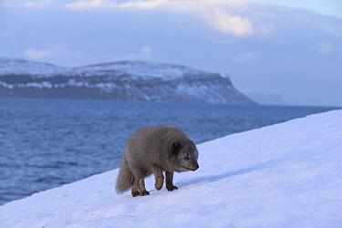 Arctic fox (Vulpes lagopus), blue colour morph in winter coat walking up snow covered cliff. Hornstrandir Nature Reserve, Iceland. February 2020.