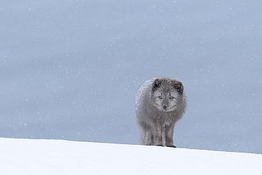 Arctic fox (Vulpes lagopus), blue colour morph in winter coat standing in snow. Hornstrandir Nature Reserve, Iceland. February.