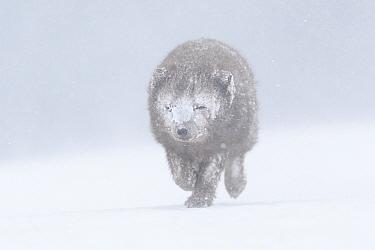 Arctic fox (Vulpes lagopus), blue colour morph in winter coat walking through snow, snow stuck to fur. Hornstrandir Nature Reserve, Iceland. February.