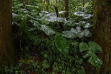 Alocasia sp. after rain in Taiwan montane forest , Taiwan.