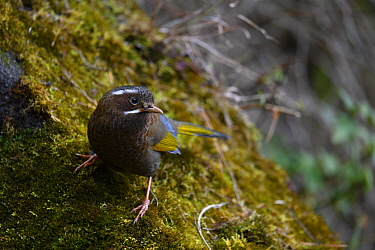 Collared-bush robin ( Tarsiger johnstoniae ) on mossy rock, Alishan National Recreation Forest area, Taiwan.