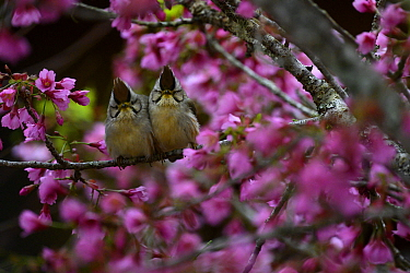 Taiwan yuhinas ( Yuhina brunneiceps ) two perched among flowers, Taiwan. Endemic.