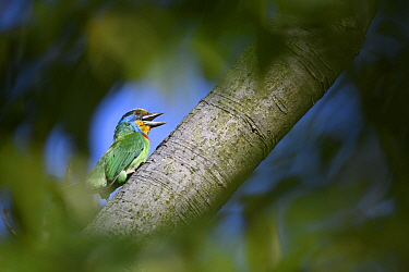 Taiwan barbet ( Psilopogon nuchalis ) , framed by foliage, in a park in Taipei, Taiwan. Endemic.