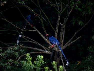 Taiwan blue magpies ( Urocissa caerulea ) perched in tree, Taiwan. Endemic.