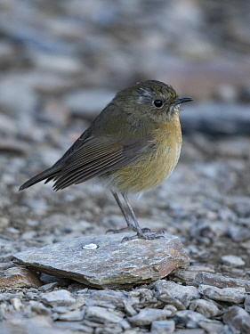Collared bush robin ( Tarsiger johnstoniae ) female foraging among rocks in alpine habitat , Taiwan.